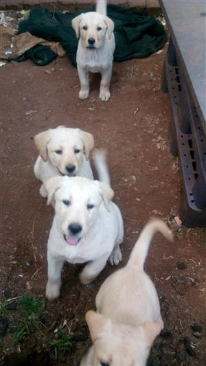Labrador puppie's
