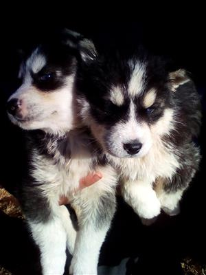 husky in Dogs and Puppies in Gauteng | Junk Mail