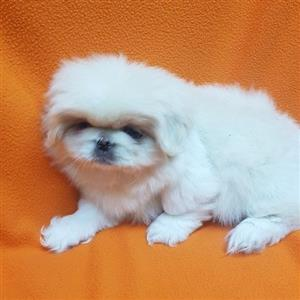 Pekingese puppies for sale.Miniature purebred puppies