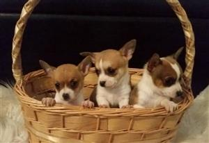 Tiny Chihuahua 2 Males & 1 Female Puppies 8 weeks old
