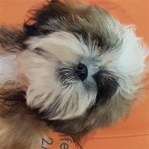Shih Tzu female
