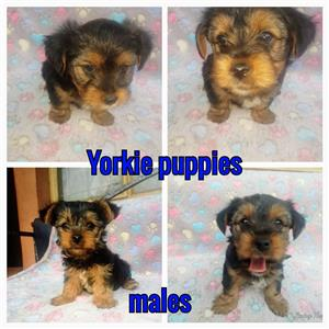 Beautiful Yorkshire Puppies