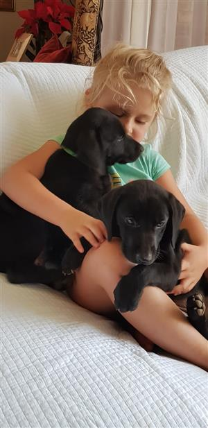 LABRADOR X WEIMARANER PUPPIES FOR SALE