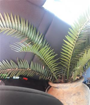 Cycad with pot for sale