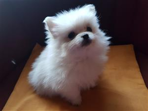 Toy pom puppies for sale