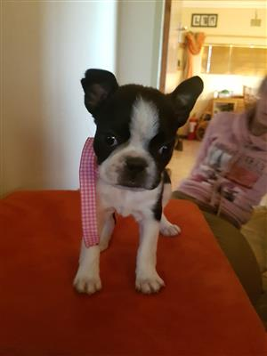 Bosto  terriers Boston