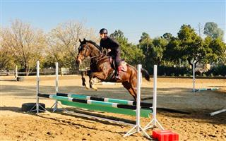 Thoroughbred gelding for sale