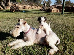 KUSA Wire terrier puppies