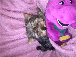 yorkie for sale blue merle