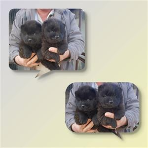 Chow pups