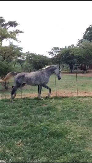 Purebred Arabian mare