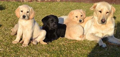 Labrador x Weimaraner Puppies
