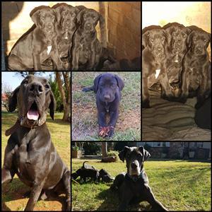 Registered Great Dane Pups
