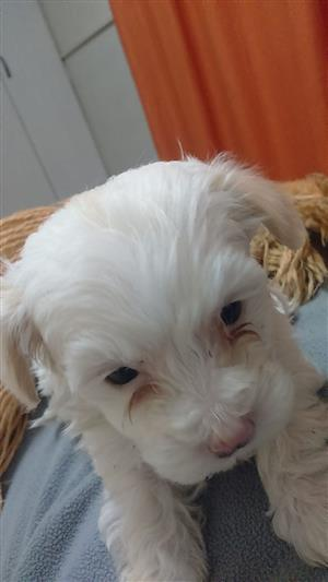 Dogs and Puppies in Vereeniging-Kopanong | Junk Mail