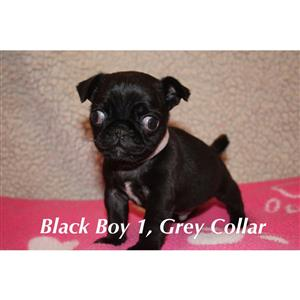 Priceless Reg Pug Puppies For Sale