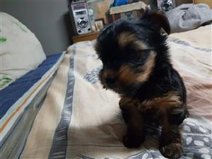 Miniature yorkie female
