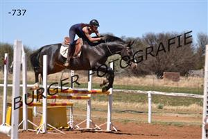 WARMBLOOD STALLION FOR SALE