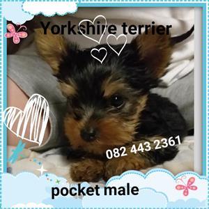 Pocket yorkie male