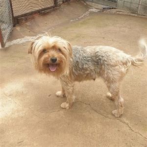 Silver Yorkshire terrier adult females
