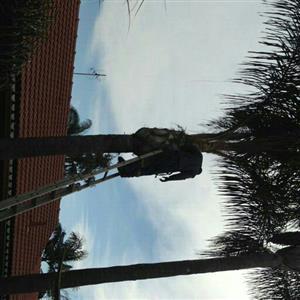 MONKEY TREE FELLING 0739260524