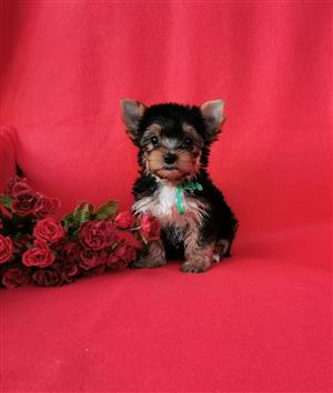 Female Small size Yorkie puppy