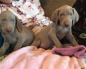 Beautiful Weimaraner Puppies