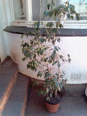Indoor or Office Plant. In a pot. Approximately 180cm high. In very good Condition. I am in Orange Grove.