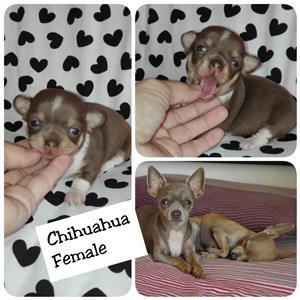 Chihuahua Geregistreerd Tefie