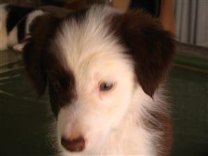 Border collies te koop.
