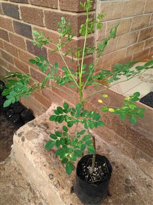 Moringa plants for sale. R150