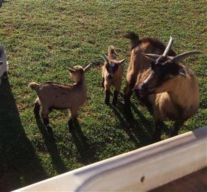 Baby miniature Cameroon Goat