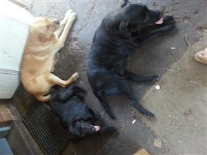 Pragtige swart Labrador tefie te koop