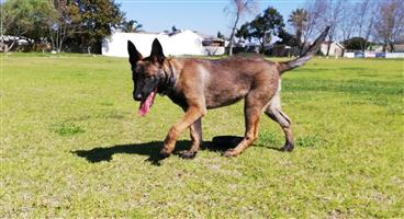 Pure Bred Belgian Malinois Puppy for sale