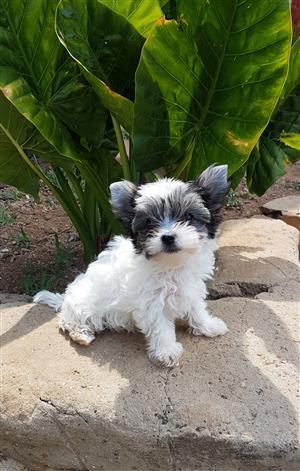 Female Biewer Yorkie puppy