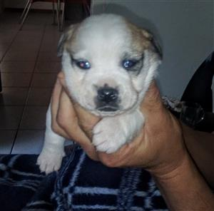 Jakenese pup for sale