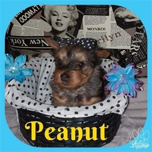 Registered Pocket / Miniature exotic Yorkshire Terriers