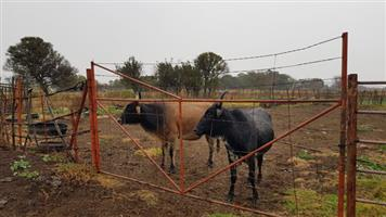 Land available for Cattle