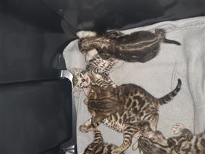 CASA REGISTERD BENGAL KITTENS