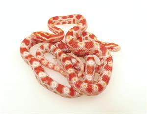 Beautiful Baby Corn Snakes