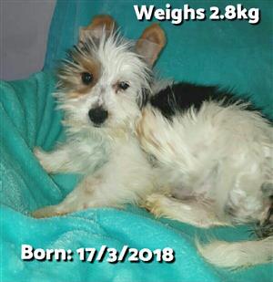 Yorkshire Biewer MALE puppies
