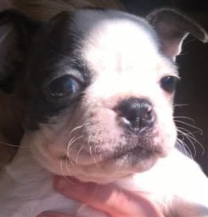 Boston Terries puppie for sale