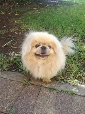 Purebred pekingese puppies for sale in Springs/Gauteng