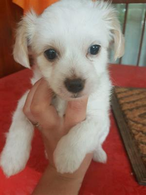 Maltese x puppy for sale