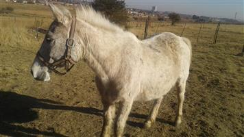 Arab blood horses for sale
