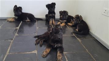 German Shepherd Puppies Long Hair 10 weeks old