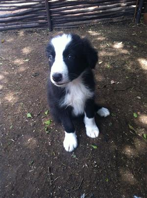 Awesome Border Collie Puppies