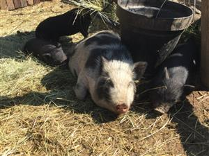 Mini Pigs Available