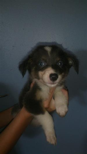 Grey/Blue and White border collie pupies for sale