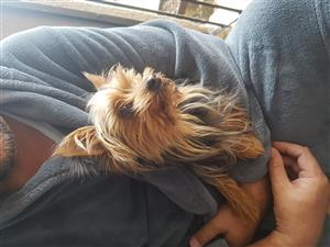 3year old Yorkshire terrier