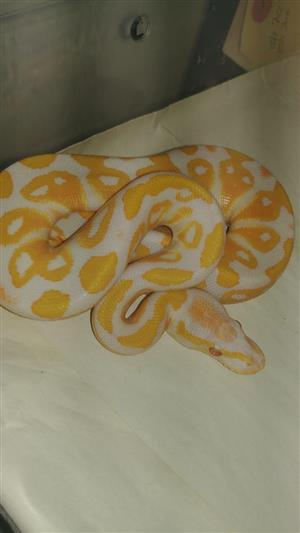 Lavendar Albino ball python